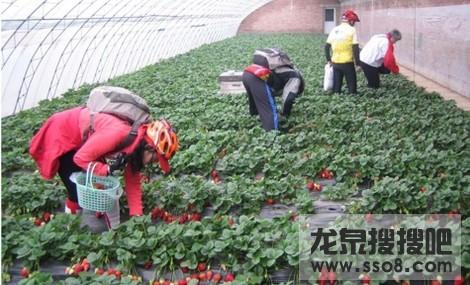 龙泉柏合采草莓(张家湾农家乐)